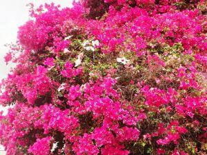 tuineje chimére bougainviller hibiscus