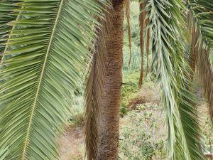 la gomera  Palmier  roque cano